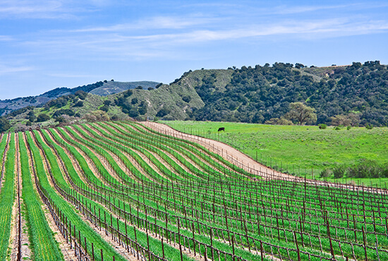 Vineyard near Santa Barbara, California