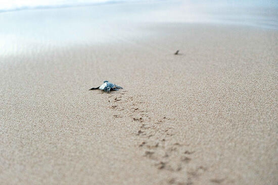 Baby sea turtle in Sri Lanka (image: Ross Jennings)