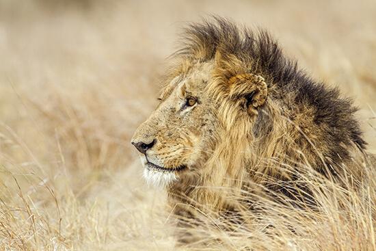 A lion in Kruger