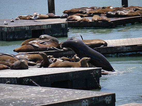 Pier 39 sea lions (image: Alexandra Gregg)