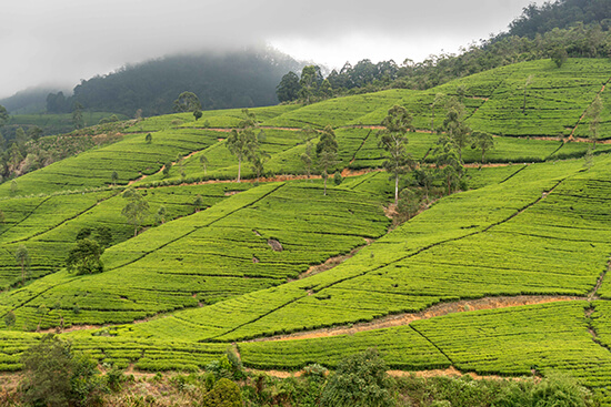 Tea plantations (image: Ross Jennings)