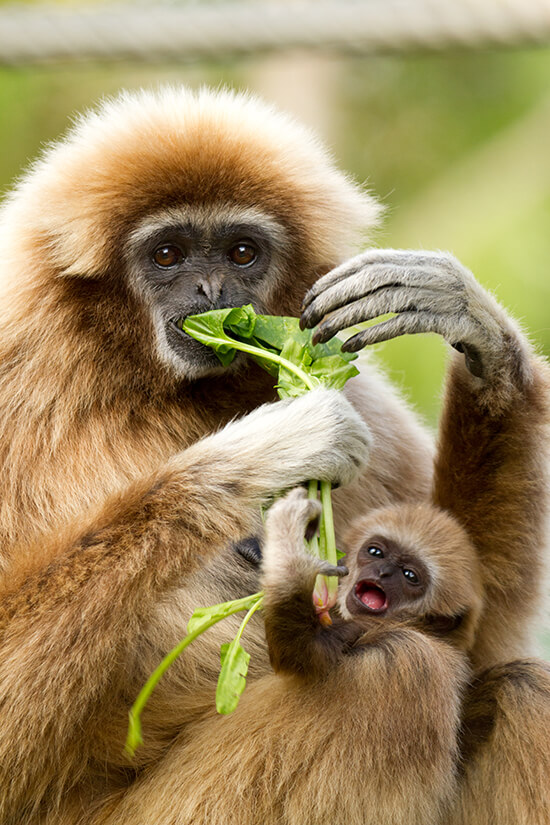 White-handed gibbon and baby