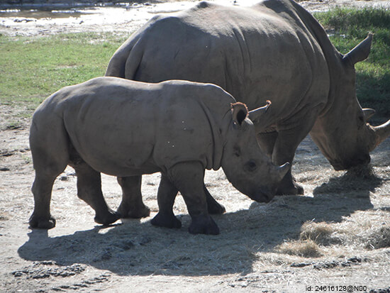Rhinos at Animal Kingdom (image: flickr)
