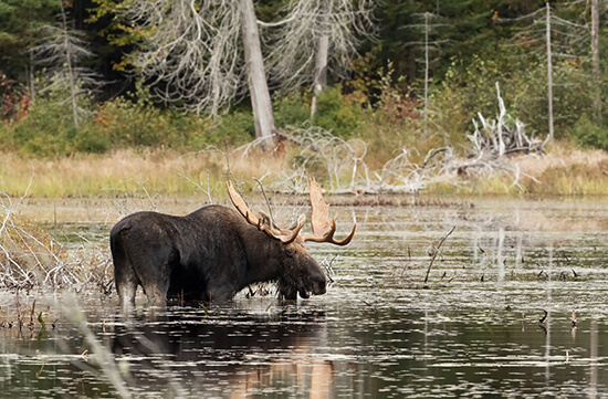 A moose in Algonquin