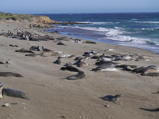 Elephant seals at San Simeon (image: Alexandra Gregg)