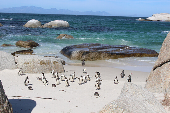 Penguins at Boulders Beach (image: Tom Grapes)