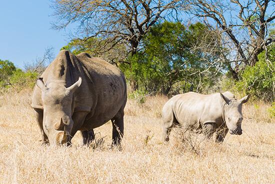 White rhinos in Hluhluwe-Imfolozi Park