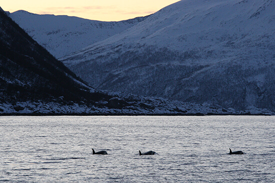 Orcas in a Tromso fjord