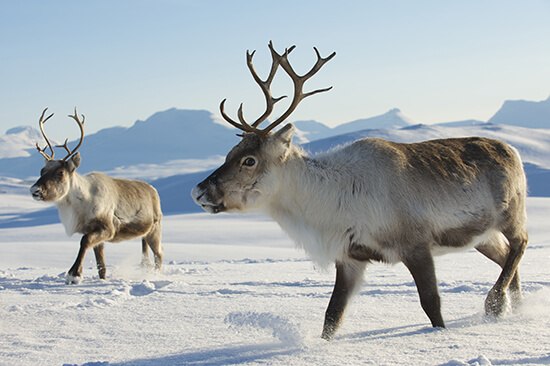 Wild reindeers in the Tromso area