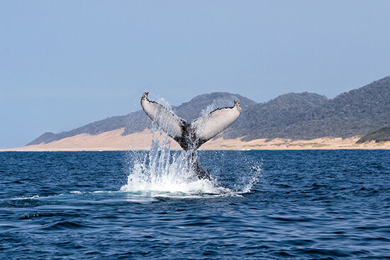 A humpback fluking in South Africa