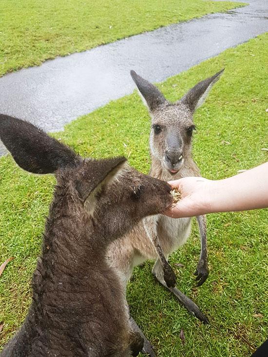 Feeding kangaroos at Australain Reptile Park