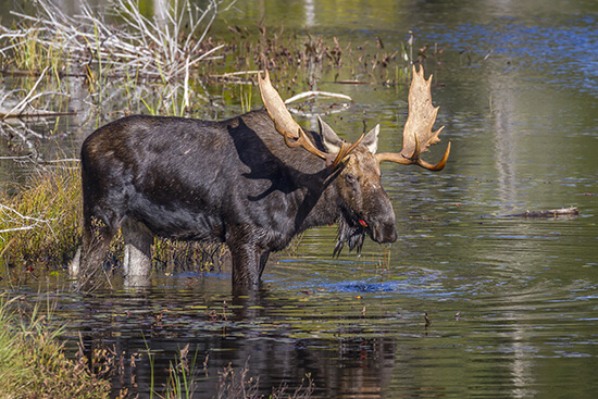 Moose in Algonquin