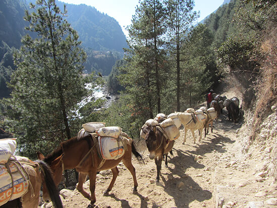 A train of mules block the path (image: Angela Griffin)