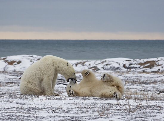 Bears sparring in Hudson Bay, Churchill