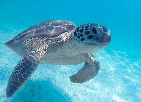 Spot turtles while snorkelling in Hawaii