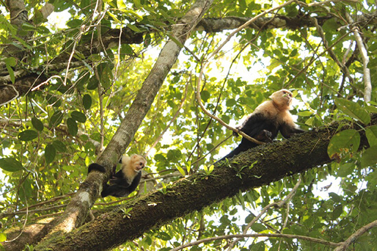 Monkeys in Manuel Antonio (image: Claus Gurumeta)