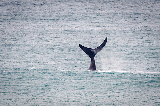 Southern right whale, Warrnambool