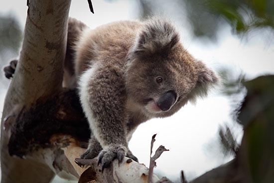 Spot koalas