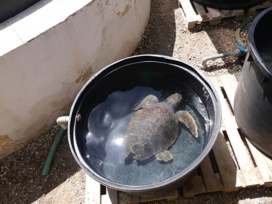 A turtle in an Archelon rehabilitation tank (image: Alexandra Gregg)