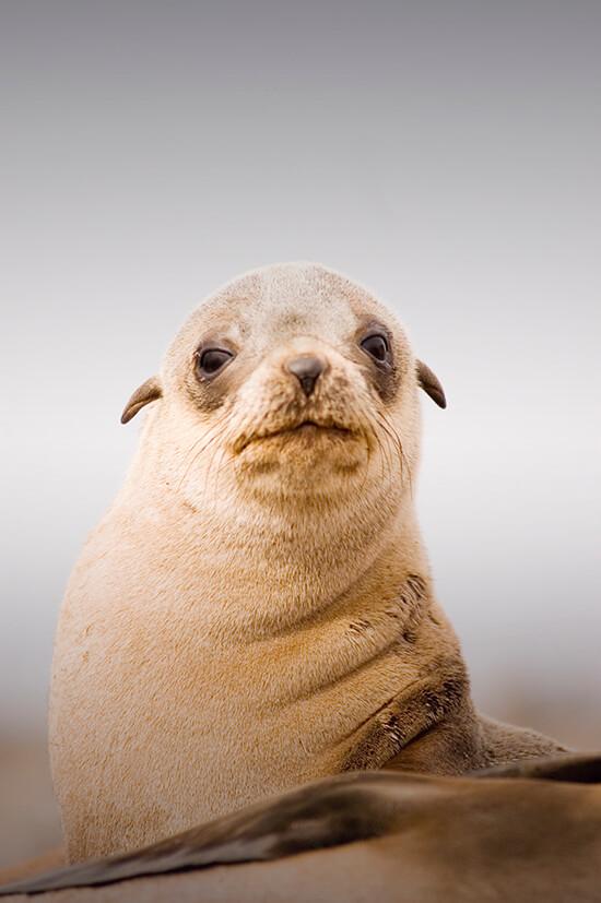 Little seal on Seal Rocks, Phillip Island