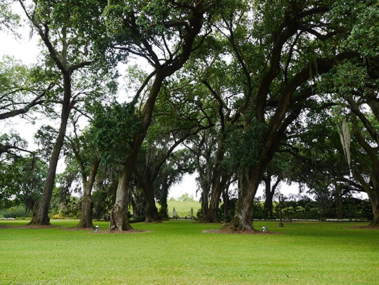 The live oak trees at the front of Houmas House (image: Alexandra Gregg)