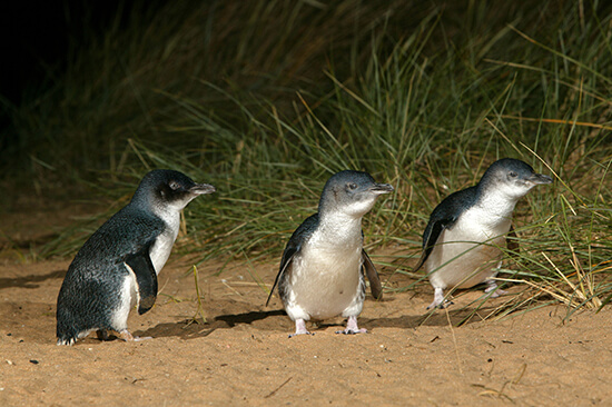 Little penguins in the Phillip island Penguin Parade, Victoria