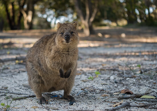 RS Quokka on Rottnest - shutterstock_508277311