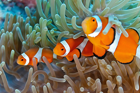 9 fun facts about the great barrier reef flight centre uk for Clown fish habitat