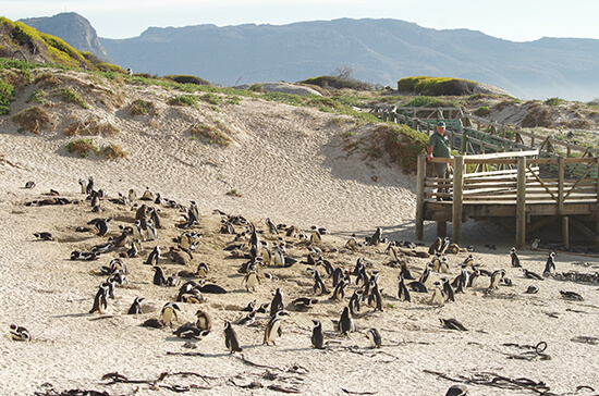Penguins at Boulders Beach (image: Chris Steel)