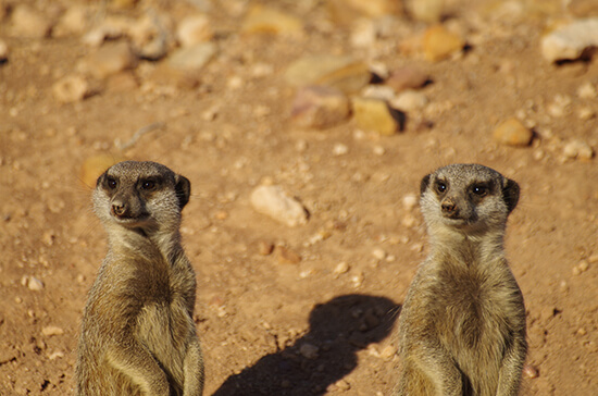 Meerkats at Buffelsdrift Game Lodge (image: Chris Steel)
