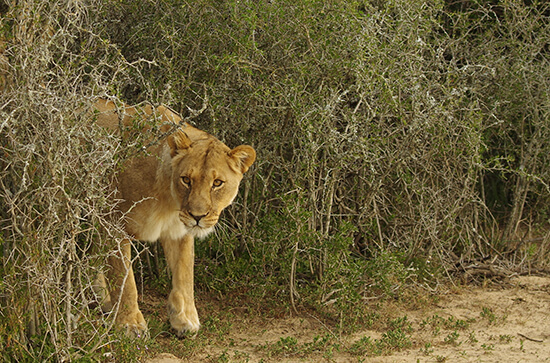 A wild lion in the Shamwari Game Reserve (image: Chris Steel)