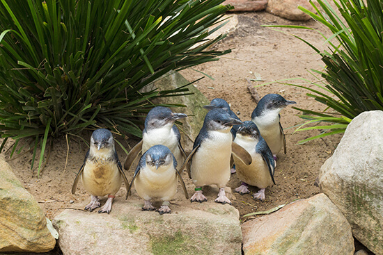Little penguins, Phillip Island