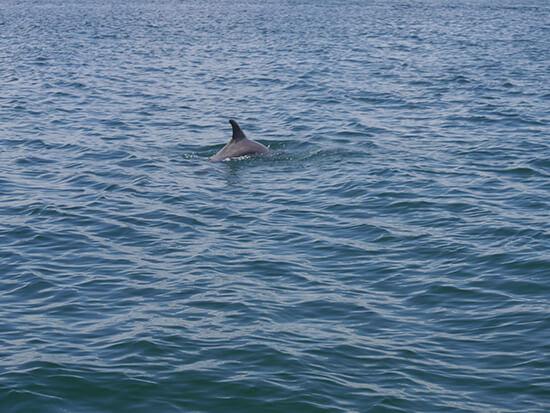 Bottlenose dolphin near Shell Island (image: Alexandra Gregg)