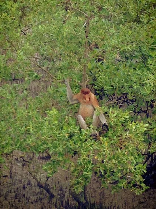 Proboscis monkey (image: Lucy Tolley)