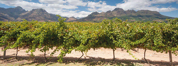 Vineyards in the Stellenbosch wine region