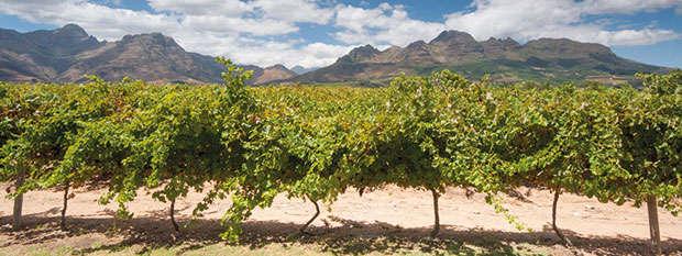 Vineyards in the Stellenbosch wine region