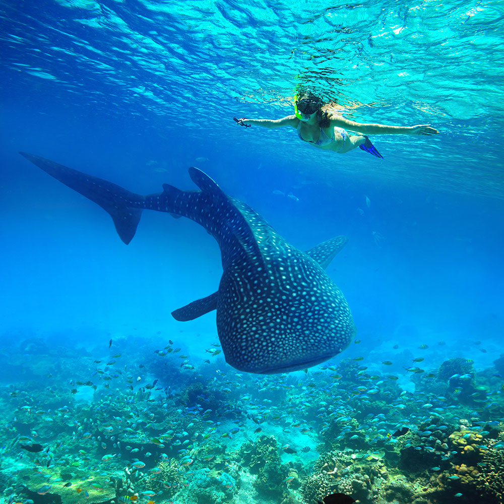 Swimming with whale sharks in Ningaloo Reef