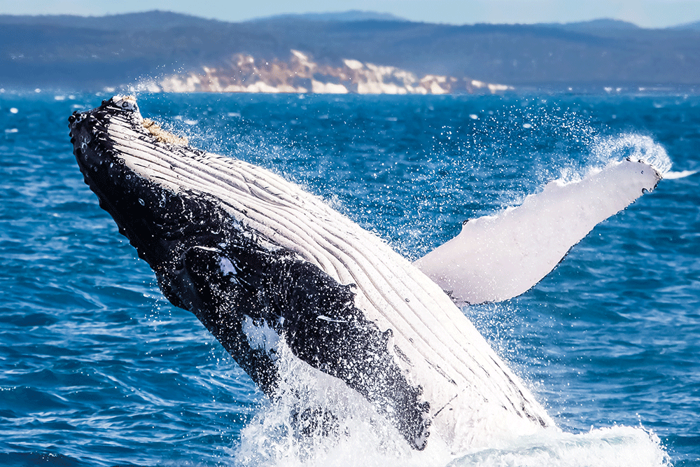 Whale watching Hervey Bay Queensland