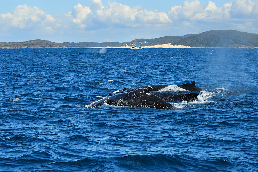 Whale watching in Port Stephens New South Wales