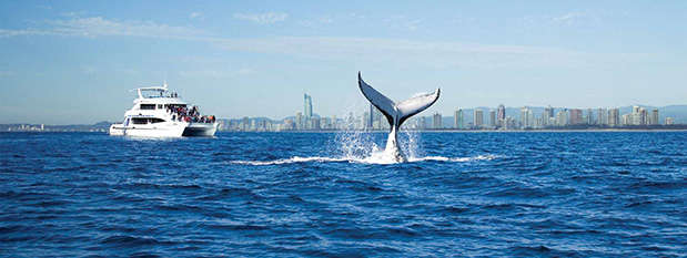 Whale tail breaching from the water on the Gold Coast