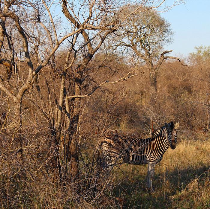 Zebra, South Africa, Lizzie Lacey-Brennan